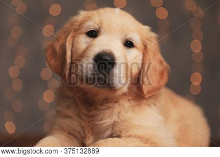 adorable golden retriever pup laying down and posing on background lights