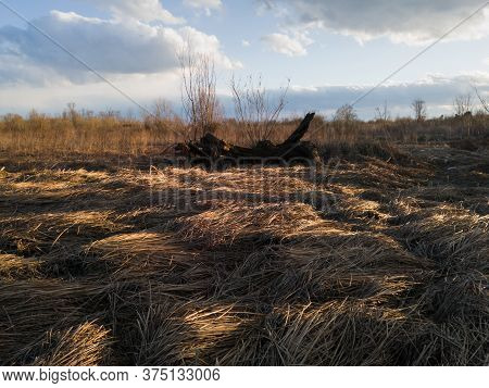 A Willow Log In A Parched Swamp With A Fallen Dry Reed Illuminated By The Sunshine In Autumn During