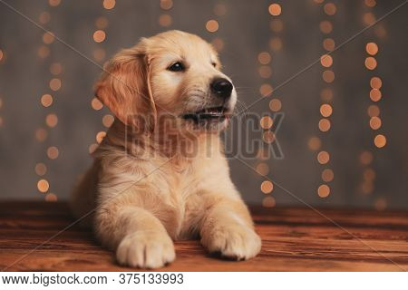 cute golden retriever pup laying down and looking to side on background lights