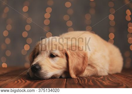 sleepy golden retriever puppy putting head down and trying to fall asleep on wooden floor