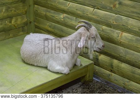 White Goat Lying On Mat. Front Top View. Farm