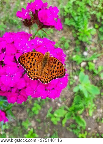 Open Winged Shots Of A Brown Great Spangled Fritillary Buttergly  Feeding On Purple Dianthus Flower