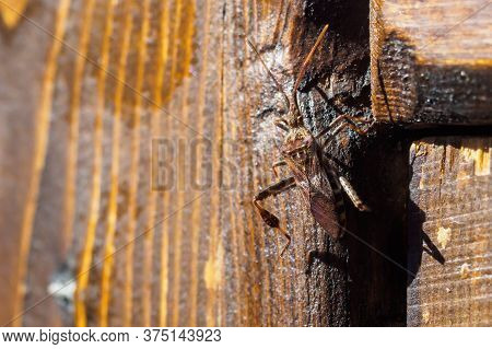 Western Conifer Seed Bug, Leptoglossus Occidentalis On Wooden Plank On Sunny Summer Day. Top View, C