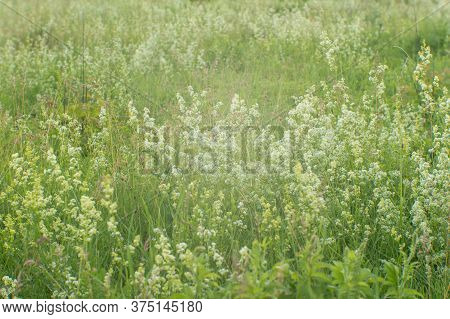 White Wildflowers On A Green Summer Meadow In A Steady Light. Natural Background.
