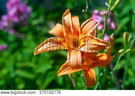 Orange Lily. Flowers Of Garden Daylily On A Flowerbed. Natural Background For Design. Selective Soft