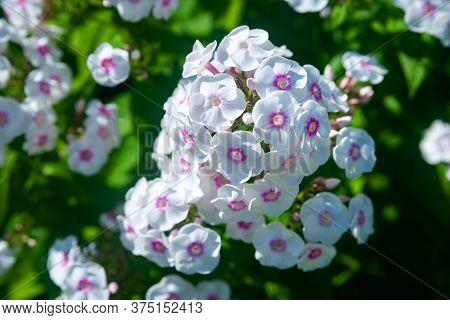 White Garden Phlox. Large Inflorescences Of Phlox Paniculata. Decorative Floral Background. Natural