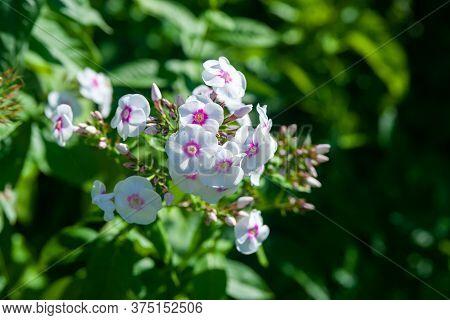 White Phlox. Inflorescences Of Phlox Paniculata. Decorative Floral Background. Natural Basis For Des