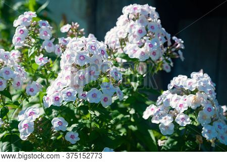 Lots Of White Phlox. Inflorescences Of White Phlox Paniculata. Decorative Floral Background. Natural