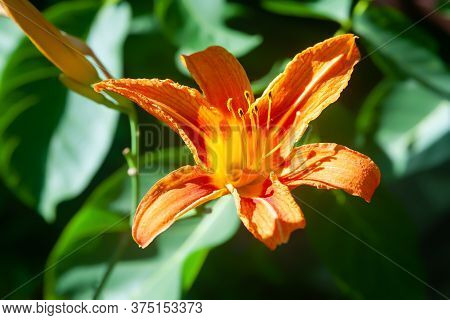 Top View Of An Orange Lily. Close-up Of Garden Daylily Flowers On A Flower Bed. Natural Background F