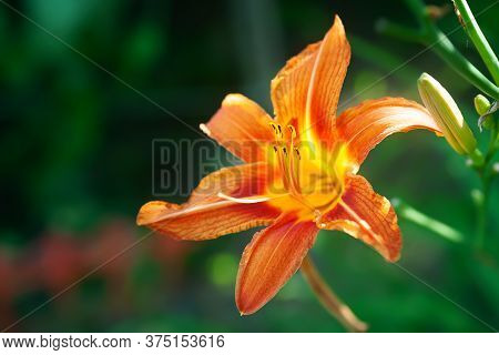 Garden Lily Is Blooming. Close-up Of Garden Daylily Flowers On A Flower Bed. Natural Background For