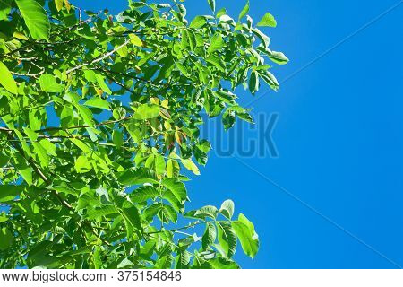 Green Foliage Against A Blue Sky. Abstract Background With Space For Text. Template For Collage And