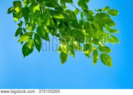 Branch With Green Leaves On A Background Of Blue Sky. Abstract Natural Background With Space For Tex
