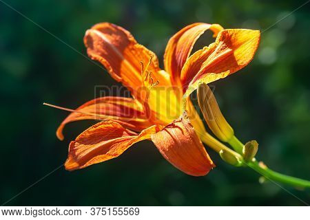 Orange Lily On A Background Of Foliage. Close-up Of Garden Daylily Flowers On A Flower Bed. Natural