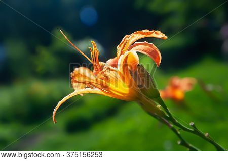 Orange Lily On A Background Of Grass. Daylily Flower Blooms In The Garden. Natural Background For De