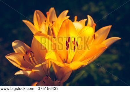 The Large Orange Lily Glows. Daylily Flower Blooms In The Garden. Natural Background For Design. Sel
