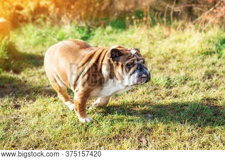 Red English Bulldog With Tongue Out For A Walk Running Up In The Park