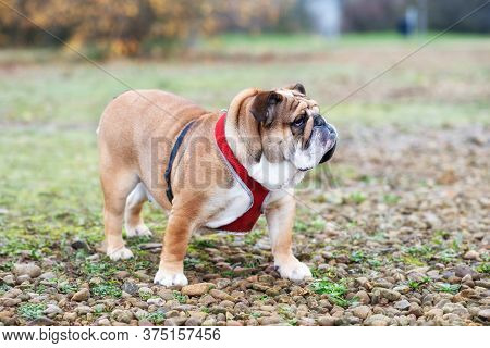 Red English Bulldog Dog Out For A Walk Looking At Side In The Park
