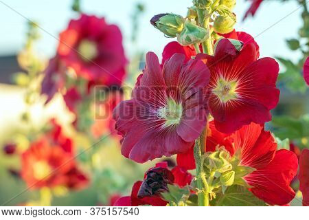 Alcea Rosea In Red Color. Popular Garden Ornamental Plant Malva Or Hollyhock. Close-up Of Blooming H