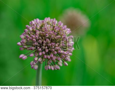 Blooming Onion. Violet Flower Onion In Garden. Beautiful Blossoming Onions.