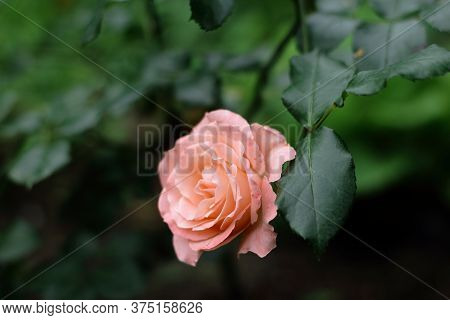 One pink rose with drops of water after rain closeup. Pink roses bushes blooming in garden. Tea rose with leaves on dark green background. Care of garden roses bushes