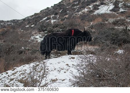 Brown Yak In The Snowy Mountains, Trekking Annapurna Circuit, Himalaya, Nepal, Asia