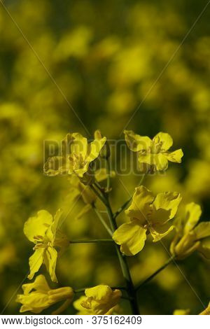 Close Up Of A Yellow Oilseed Rapeseed Plant