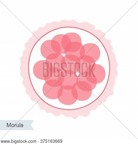 Morula Cell Icon. Embryo Development Stage. Pregnancy, Insemination And Fertalization Concept. Human