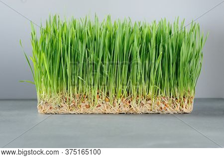 Organic Fresh Green Wheat Grass For Wheatgrass Shots.grassy Patch On The Gray Background.the Leaves