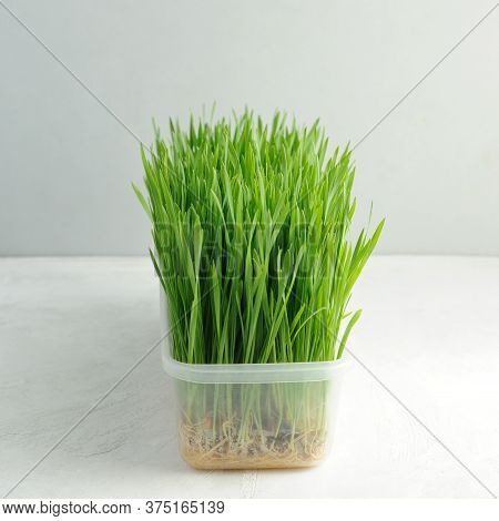 Growing Wheatgrass Indoors In Regular Tray.wheat Sprouts On The Light Background.