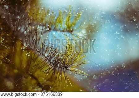 Bright Natural Background. Blue And Green Landscape. Picturesque Conifer Branch. A Close-up Of A Pin