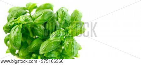 Basil leaves isolated on white background. Green basil growing. Fresh Flavoring. Nature healthy food over white Background, close-up. Vegetarian and healthy food concept. Basils Leaves closeup