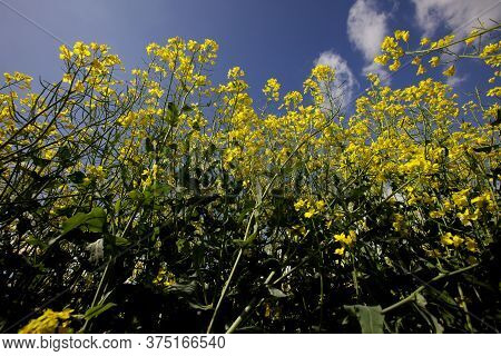 Oilseed And Rapeseed Plants Close Up With A Blue Sky