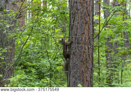 Beautiful Squirrel On A Pine Trunk. A Squirrel Climbs Up The Tree. The Concept Of These Squirrels Ca