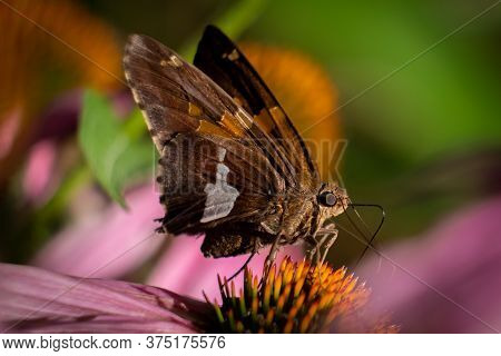 Closeup Of A Silver-spotted Skipper Enjoys The Nectar From A Coneflower.