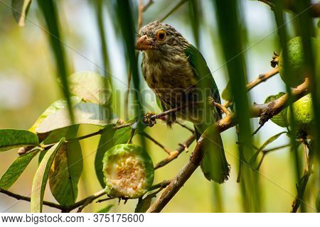 The Lineated Barbet (psilopogon Lineatus) Is An Asian Barbet Native To The Terai, The Brahmaputra Ba