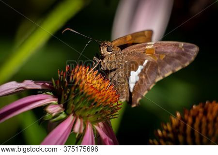 A Silver-spotted Skipper Enjoys The Nectar From A Coneflower.