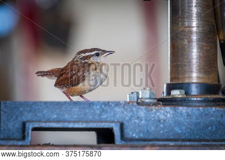 A Carolina Wren Fledgling Is Perched On A Drillpress In A Workshop. Animal Humor For A Young Shop As