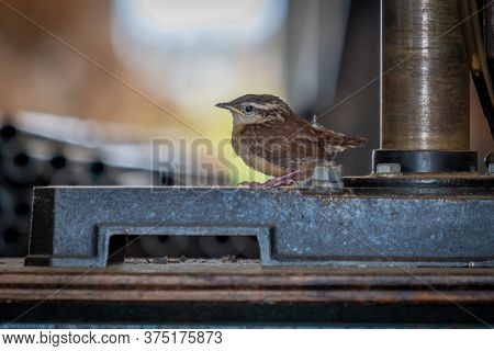 A Carolina Wren Fledgling Is Perched On A Drillpress In A Tool Shop. Animal Humor For A Young Shop A