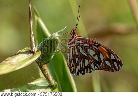 A Gulf Fritillary Pauses To Rest On A Leaf At Crowder Park In Apex, North Carolina.