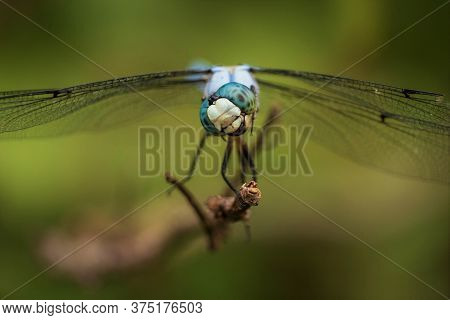 This Slaty Skimmer Tilts Its Head As It Eyes Tiny Insects Flying By. But The Position Of The Mouth A