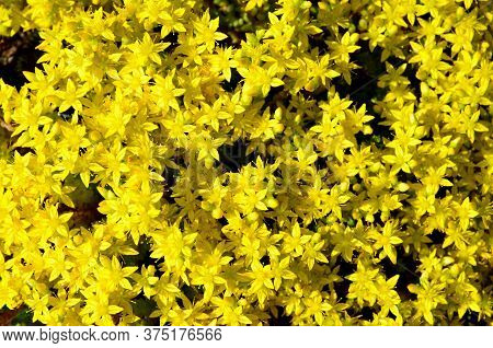 Bright Natural Graphic Resource Consists Of Small Flowers Stonecrop Caustic.