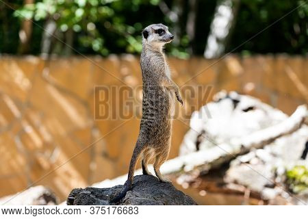 One Young Meerkat Stands On A Stone And Guards The Territory Of The Family
