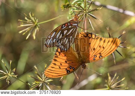 A Couple Of Copulating Gulf Fritillaries  At Yates Mill County Park In Raleigh, North Carolina.