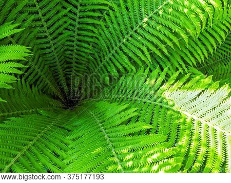 Fresh Green Leaves Of Ferns On Summer Day. View From Above