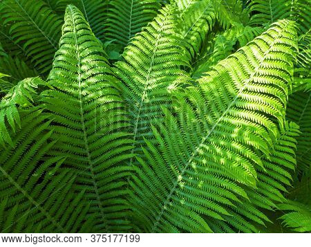 Fresh Young Leaves Of Ferns In A Forest On Sunny Summer Day. Green Nature Background