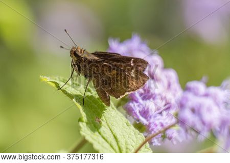 Macro Of A Clouded Skipper Perched On A Leaf On Four Of Its Six Legs With A Green And Purple Backgro