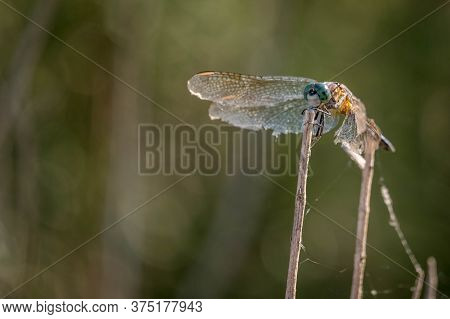 A Weathered Blue Dasher With Tattered Wings Perches On A Twig. Could Be Symbolic Of Weathering The T