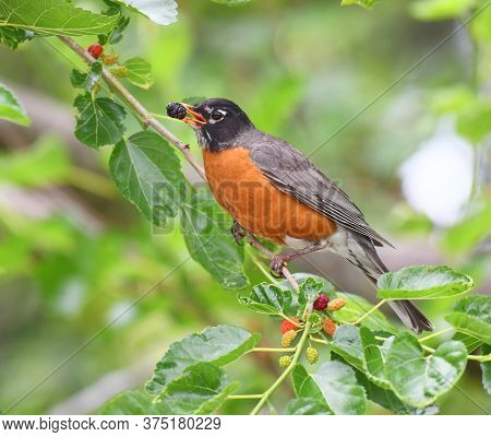 Robin Bird Eating Mulberry Fruit On The Tree