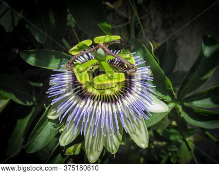 Close Up Of Passiflora Caerulea, The Blue Passionflower, Bluecrown Passionflower Or Common Passion F
