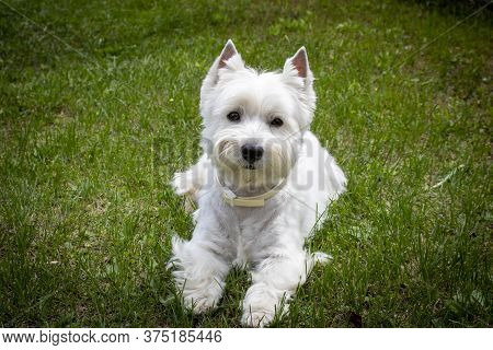 West Highland White Terrier On The Green Grass